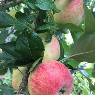 Juicy Apples...